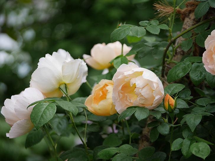 コントゥ・ドゥ・シャンパーニュ(ツルバラ)の花が増えて来た。2019年-9.jpg