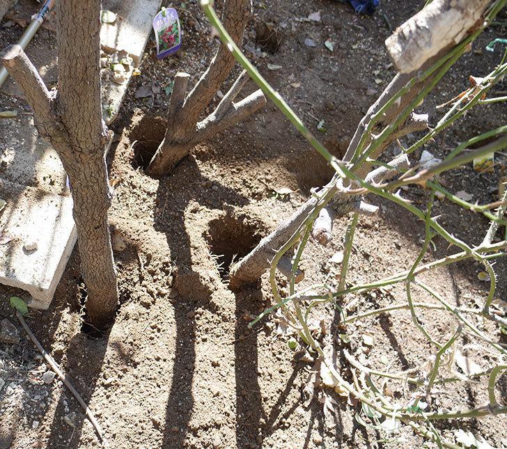 コントゥ・ドゥ・シャンパーニュ(ツルバラ)の誘引を解いて寒肥をやった。2019年-1.jpg