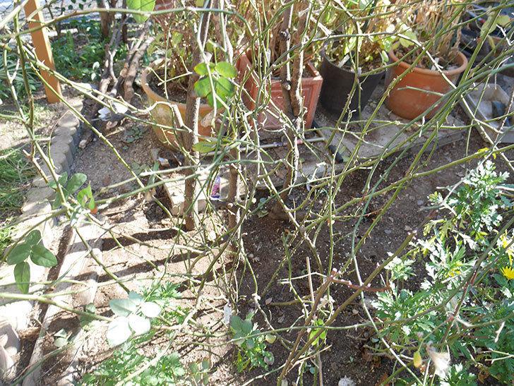コントゥ・ドゥ・シャンパーニュ(ツルバラ)の誘引を解いて寒肥をやった。2019年-13.jpg