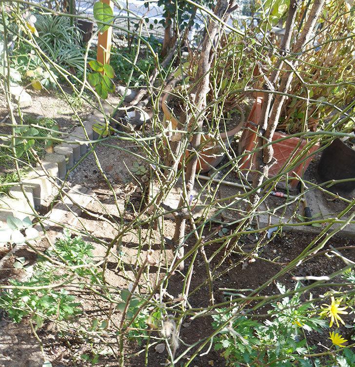 コントゥ・ドゥ・シャンパーニュ(ツルバラ)の誘引を解いて寒肥をやった。2019年-15.jpg