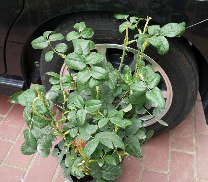 コントゥ・ドゥ・シャンパーニュ(ツルバラ)の輸入苗の鉢植え苗を買った。2016年-2.jpg