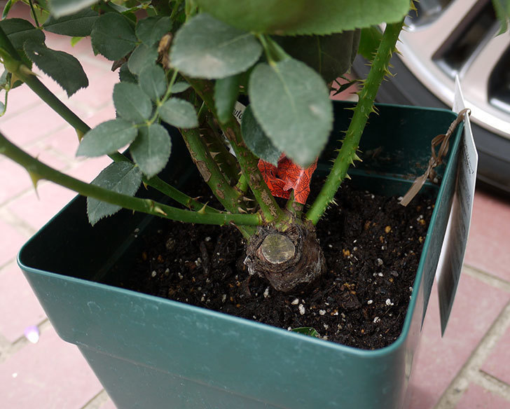 コントゥ・ドゥ・シャンパーニュ(ツルバラ)の輸入苗の鉢植え苗を買った。2016年-3.jpg