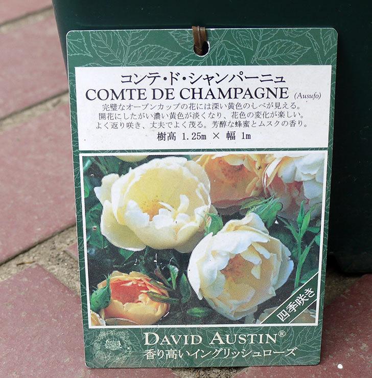 コントゥ・ドゥ・シャンパーニュ(ツルバラ)の輸入苗の鉢植え苗を買った。2016年-4.jpg