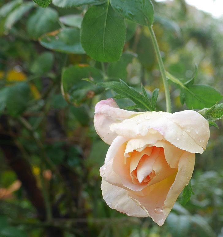 コントゥ・ドゥ・シャンパーニュ(半ツルバラ)にオレンジがかった花が咲いた。2019年-1.jpg