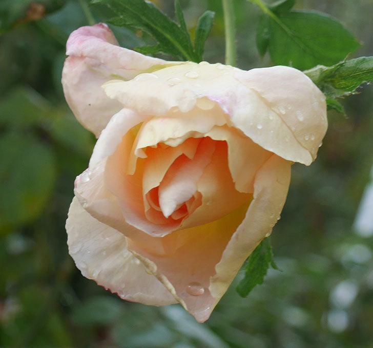 コントゥ・ドゥ・シャンパーニュ(半ツルバラ)にオレンジがかった花が咲いた。2019年-2.jpg