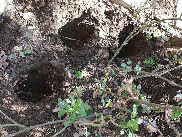 コントゥ・ドゥ・シャンパーニュ(半ツルバラ)に寒肥を施した。2020年-1.jpg
