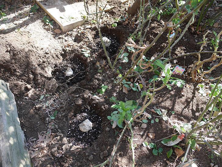 コントゥ・ドゥ・シャンパーニュ(半ツルバラ)に寒肥を施した。2020年-12.jpg