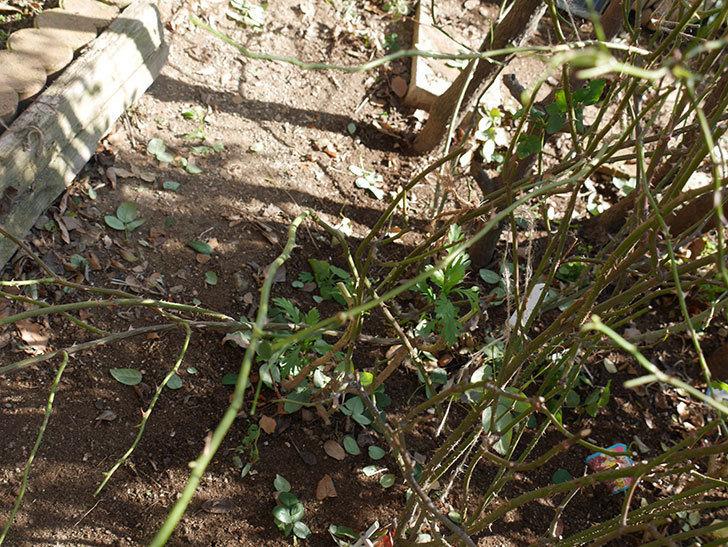 コントゥ・ドゥ・シャンパーニュ(半ツルバラ)に寒肥を施した。2020年-2.jpg