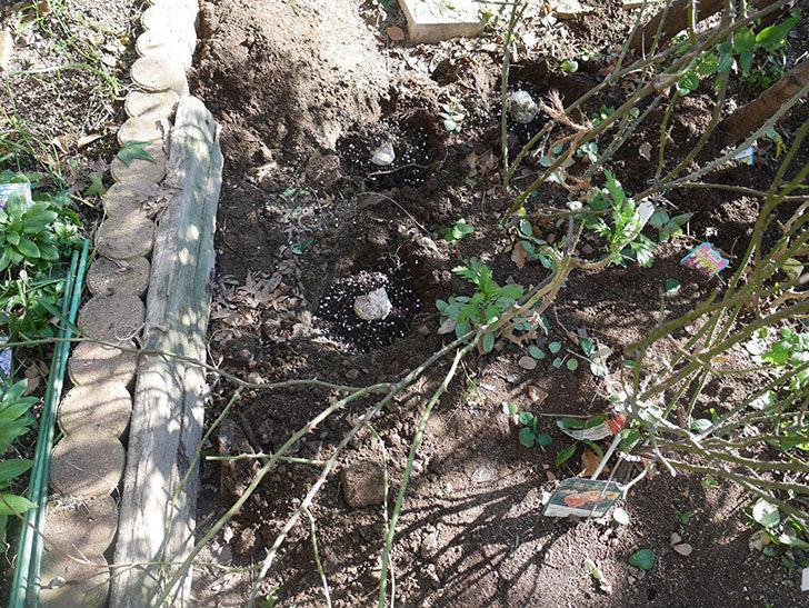 コントゥ・ドゥ・シャンパーニュ(半ツルバラ)に寒肥を施した。2020年-7.jpg