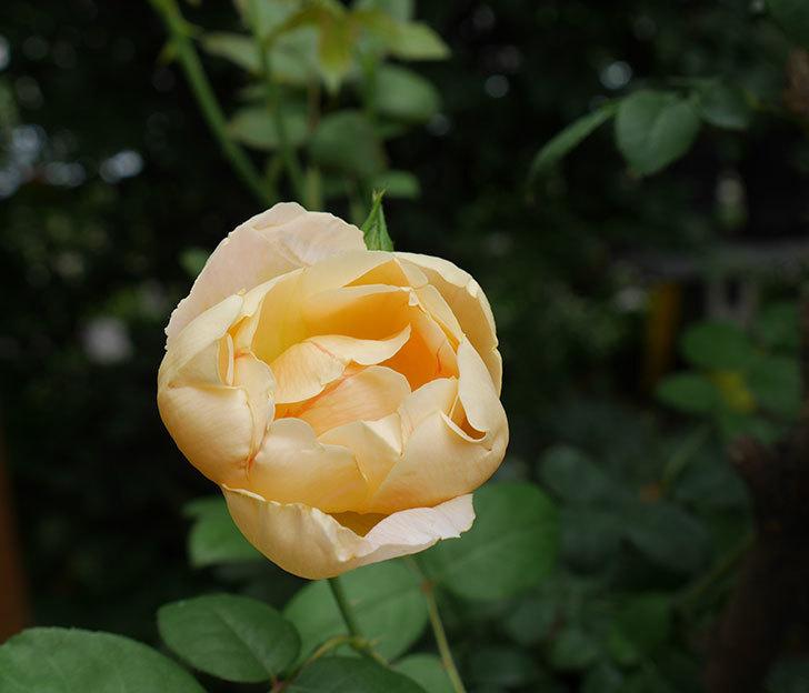 コントゥ・ドゥ・シャンパーニュ(半ツルバラ)の2番花が咲いた。2019年-1.jpg