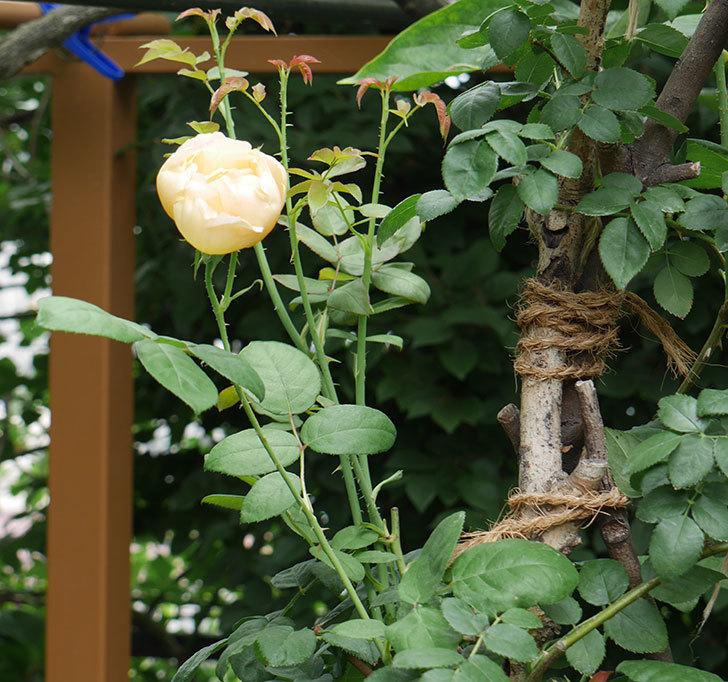 コントゥ・ドゥ・シャンパーニュ(半ツルバラ)の2番花が咲いた。2019年-2.jpg