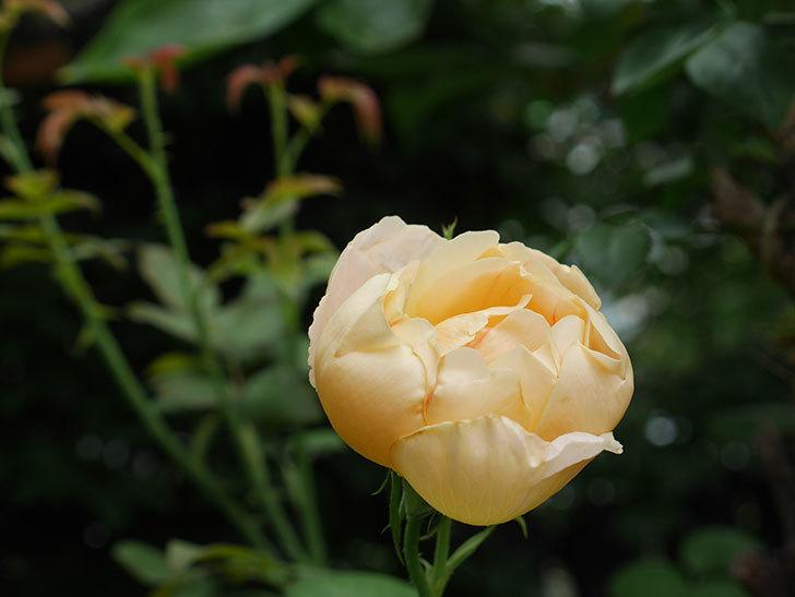 コントゥ・ドゥ・シャンパーニュ(半ツルバラ)の2番花が咲いた。2019年-3.jpg