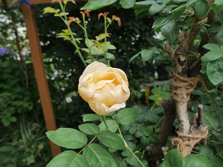 コントゥ・ドゥ・シャンパーニュ(半ツルバラ)の2番花が咲いた。2019年-4.jpg