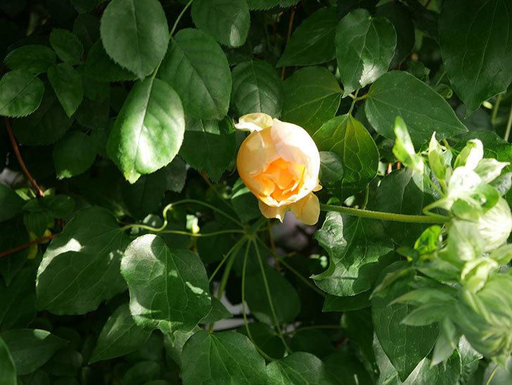 コントゥ・ドゥ・シャンパーニュ(半ツルバラ)の花が咲いた。2020年-3.jpg