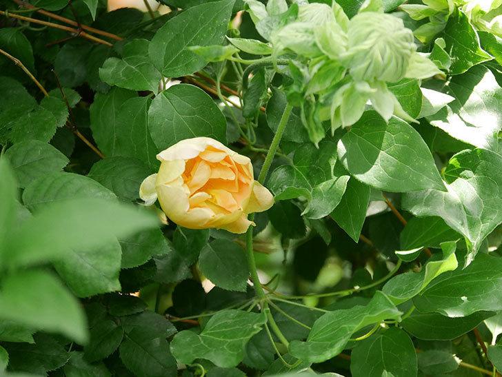 コントゥ・ドゥ・シャンパーニュ(半ツルバラ)の花が咲いた。2020年-4.jpg