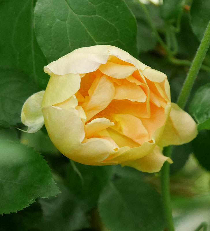 コントゥ・ドゥ・シャンパーニュ(半ツルバラ)の花が咲いた。2020年-5.jpg