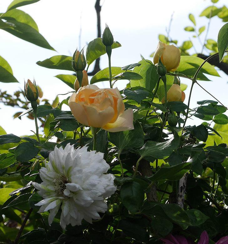 コントゥ・ドゥ・シャンパーニュ(半ツルバラ)の花が増えてきた。2020年-1.jpg