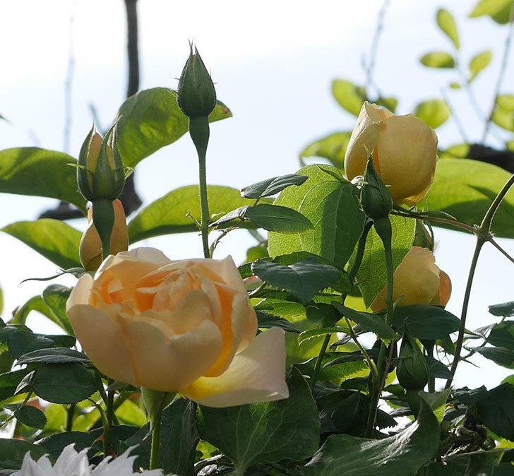 コントゥ・ドゥ・シャンパーニュ(半ツルバラ)の花が増えてきた。2020年-2.jpg