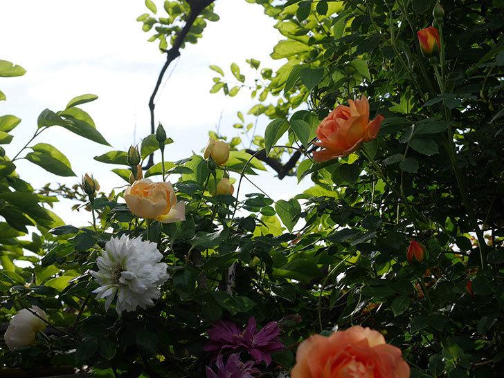 コントゥ・ドゥ・シャンパーニュ(半ツルバラ)の花が増えてきた。2020年-3.jpg