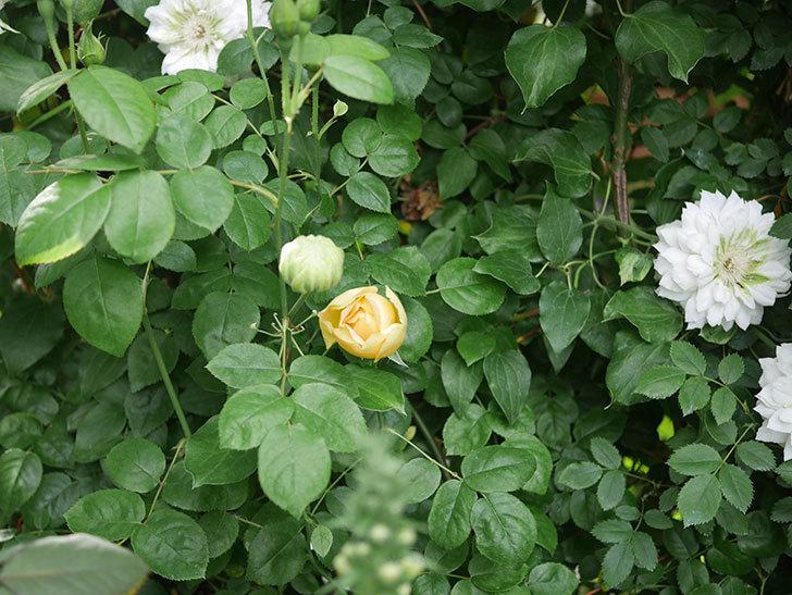 コントゥ・ドゥ・シャンパーニュ(半ツルバラ)の花が増えてきた。2020年-4.jpg