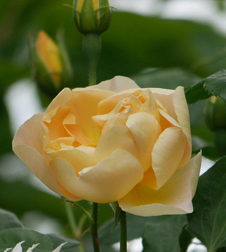 コントゥ・ドゥ・シャンパーニュ(半ツルバラ)の花が増えてきた。2020年-6.jpg