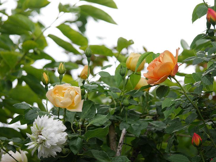 コントゥ・ドゥ・シャンパーニュ(半ツルバラ)の花が増えてきた。2020年-7.jpg