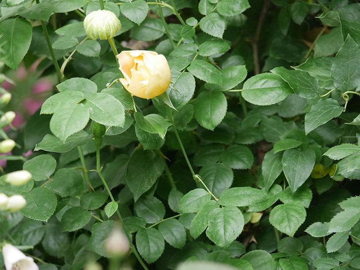 コントゥ・ドゥ・シャンパーニュ(半ツルバラ)の花が増えてきた。2020年-8.jpg