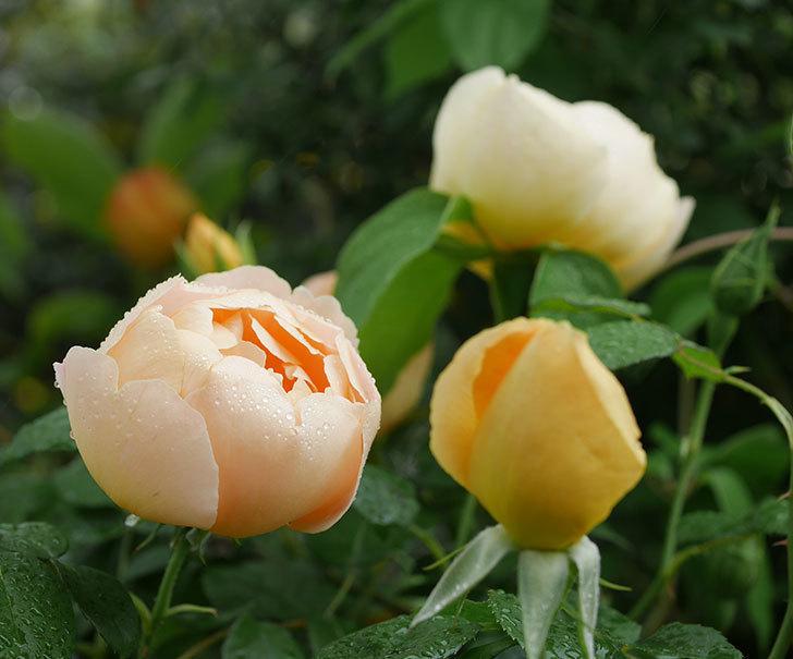 コントゥ・ドゥ・シャンパーニュ(半ツルバラ)の花が綺麗に咲いた。2020年-1.jpg
