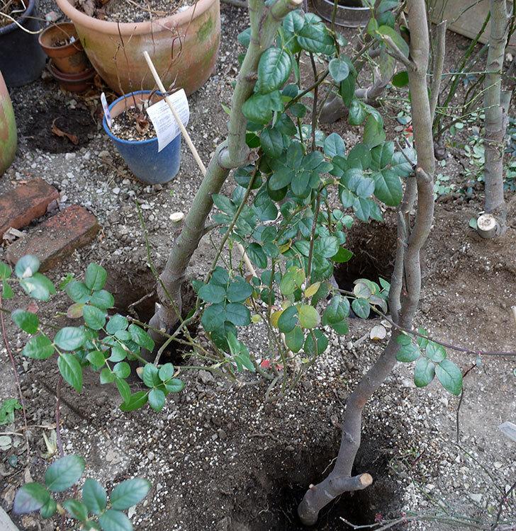 コントゥ・ドゥ・シャンパーニュに寒肥をやってオベリスク設置し誘引した。2017年-1.jpg