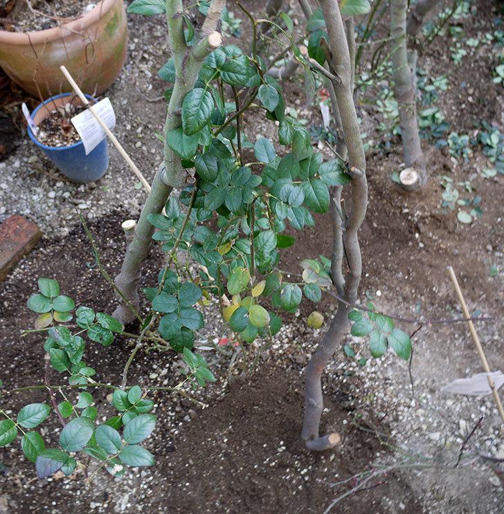 コントゥ・ドゥ・シャンパーニュに寒肥をやってオベリスク設置し誘引した。2017年-17.jpg