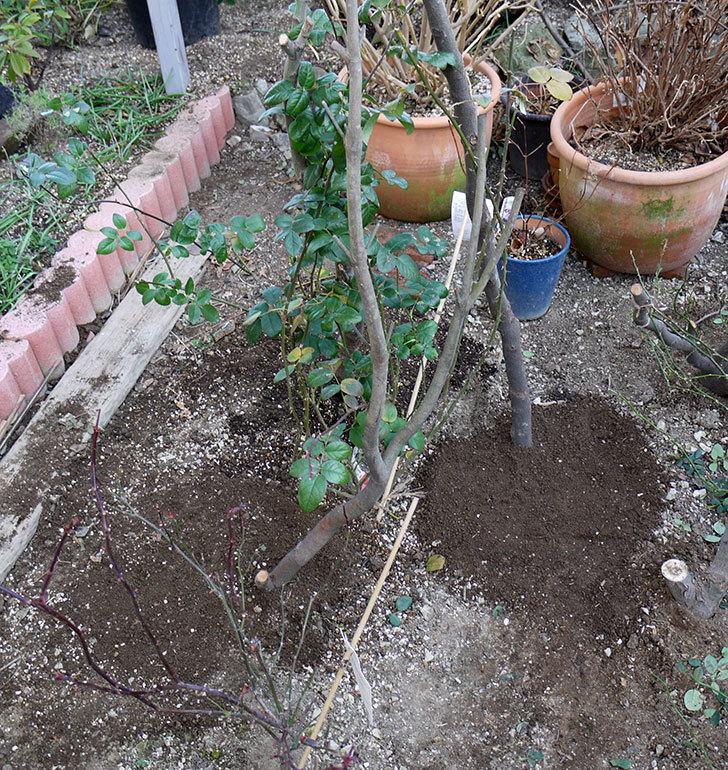 コントゥ・ドゥ・シャンパーニュに寒肥をやってオベリスク設置し誘引した。2017年-18.jpg
