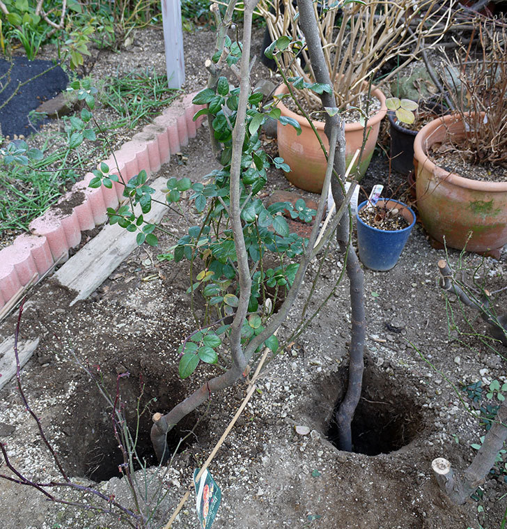 コントゥ・ドゥ・シャンパーニュに寒肥をやってオベリスク設置し誘引した。2017年-6.jpg