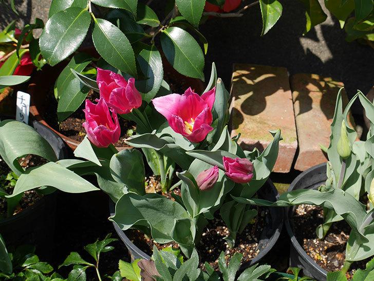 コンプリメント(チューリップ)の花が咲いた。2018年-5.jpg