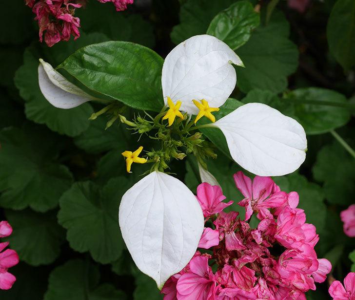 コンロンカが咲いた。2018年-2.jpg