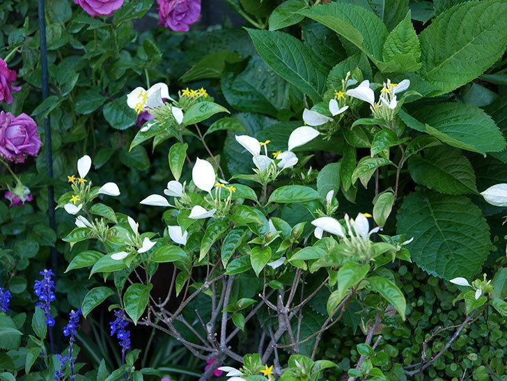 コンロンカが咲いた。2019年-1.jpg