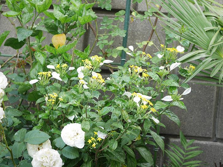 コンロンカが咲いた。2020年-002.jpg