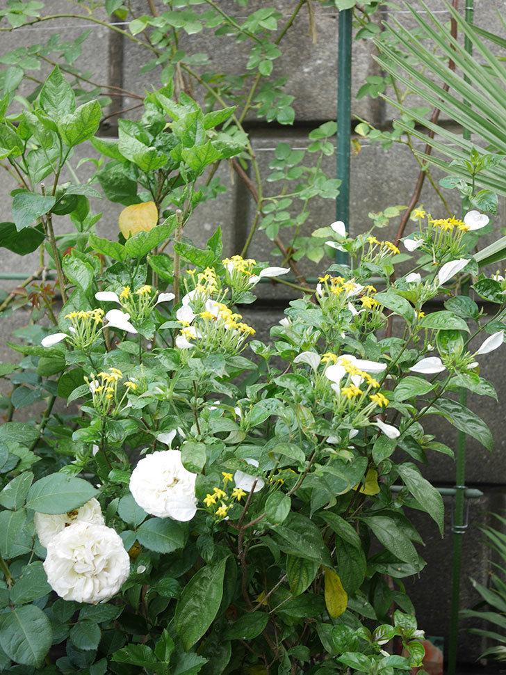 コンロンカが咲いた。2020年-003.jpg