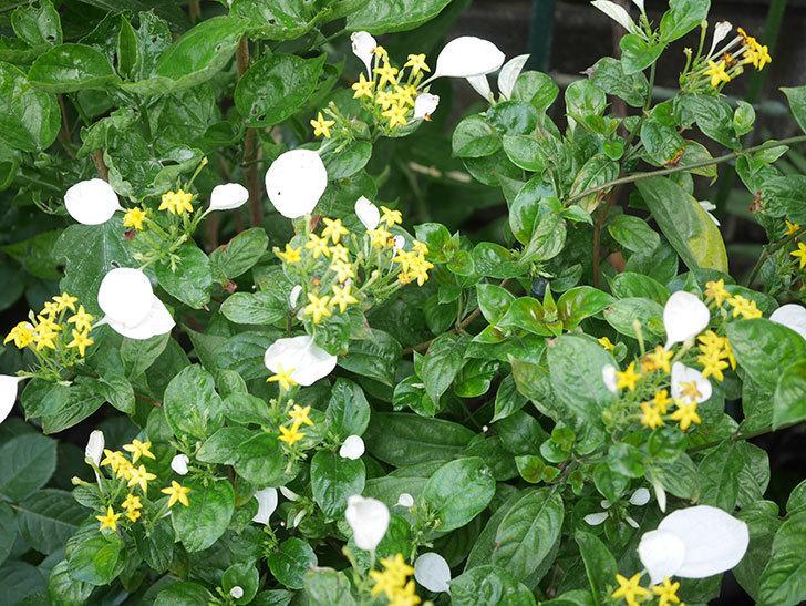 コンロンカが咲いた。2020年-005.jpg