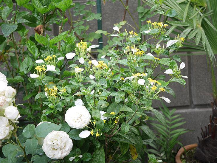コンロンカが咲いた。2020年-008.jpg