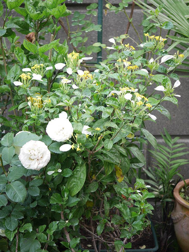 コンロンカが咲いた。2020年-009.jpg