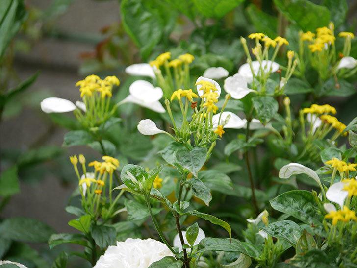 コンロンカが咲いた。2020年-013.jpg
