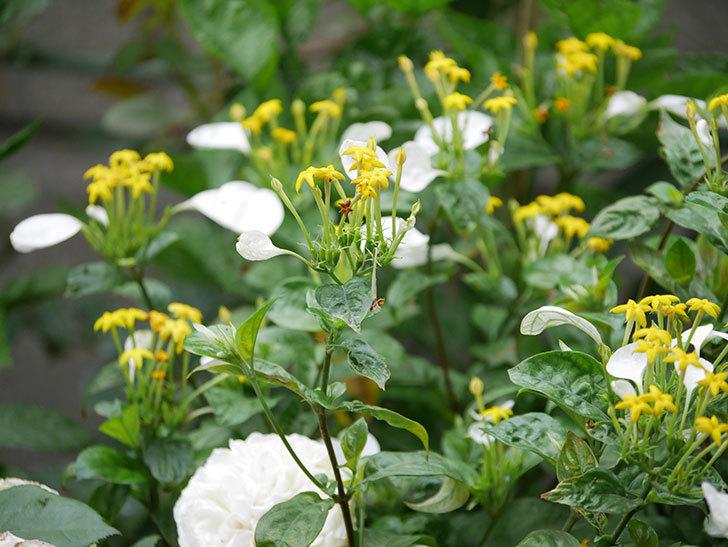 コンロンカが咲いた。2020年-015.jpg