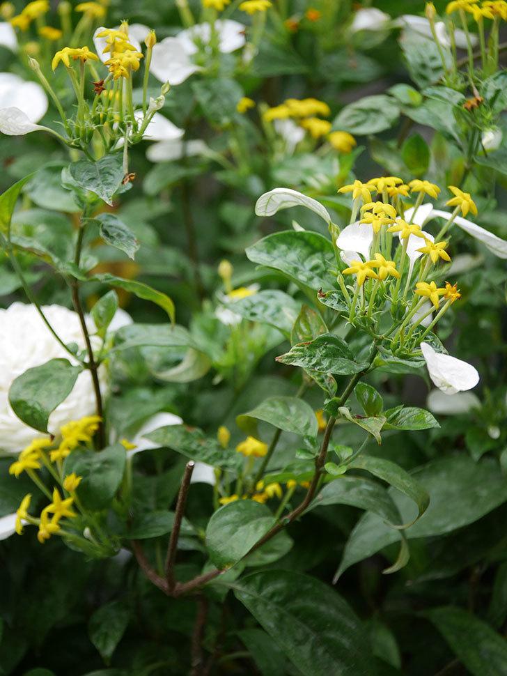 コンロンカが咲いた。2020年-016.jpg