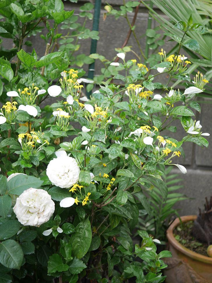 コンロンカが咲いた。2020年-018.jpg