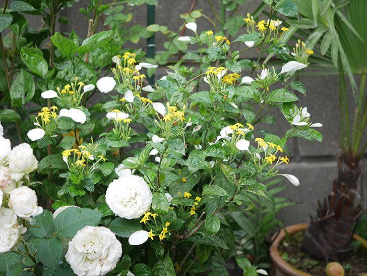 コンロンカが咲いた。2020年-019.jpg