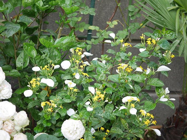 コンロンカが咲いた。2020年-020.jpg