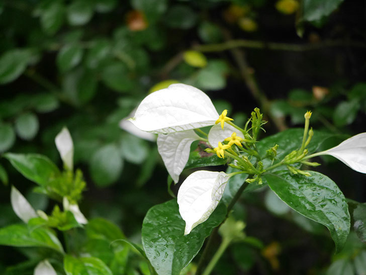コンロンカが咲いた。2021年-001.jpg
