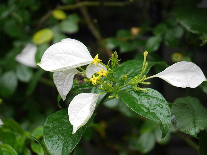 コンロンカが咲いた。2021年-003.jpg