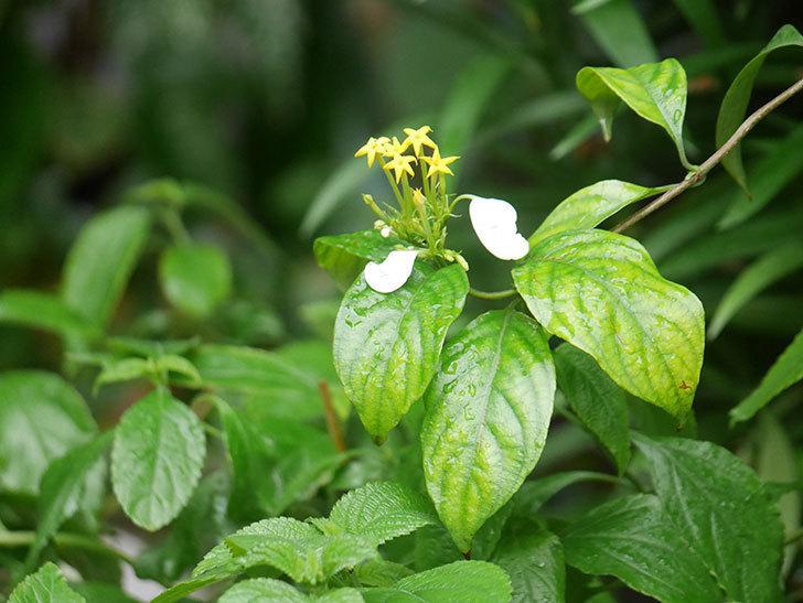 コンロンカが咲いた。2021年-006.jpg