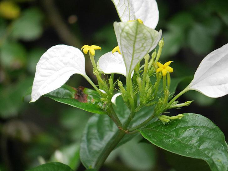コンロンカが咲いた。2021年-010.jpg